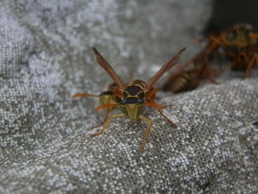 蜂に刺されたら アシナガバチ