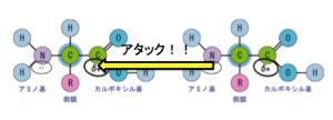 ペプチド結合