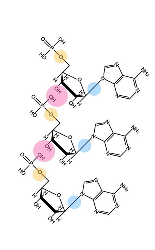 核酸の結合
