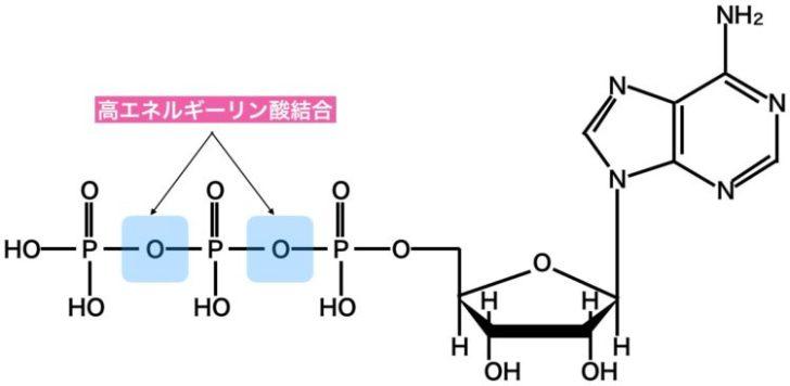 高エネルギーリン酸結合
