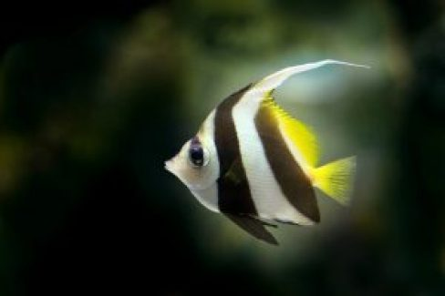 angelfish-218086_960_720