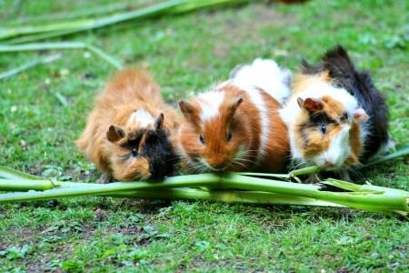 guinea-pig-208438_960_720
