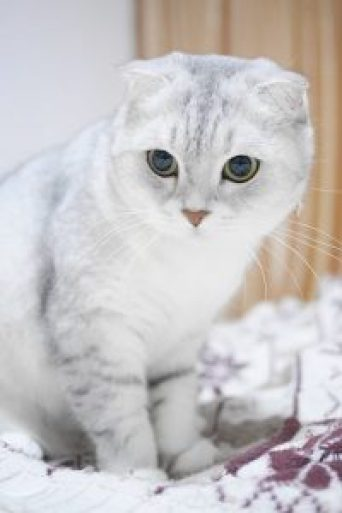 scottish-fold-cats-1071855_960_720