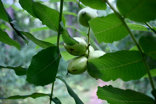 De flesta lite större valnötsträden bar bra med frukt.