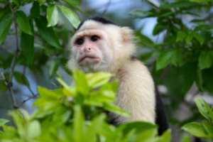soñar con monos capuchinos