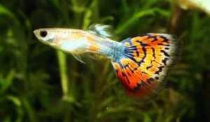 soñar con peces guppy
