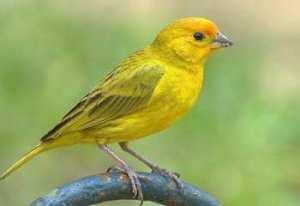 soñar con canarios