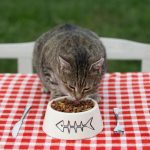 Kitten eating cat food,cat dinner at the table