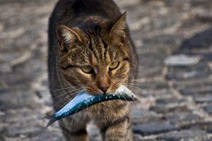 balk yakalam bir kedi