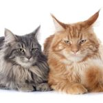portrait of purebred  maine coon cats on a white background