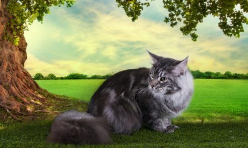 Maine Coon plays on a sunny summer day under a tree