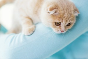 pets, animals and cats concept - close up of scottish fold kitten in owner hands