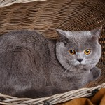 gray cute British Shorthair cat on a wooden basket