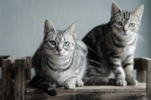 Two American Shorthair cats sitting on old wood shelf