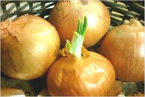 玉ねぎ 栽培方法