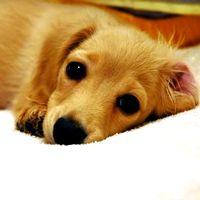 犬の玉ねぎ中毒