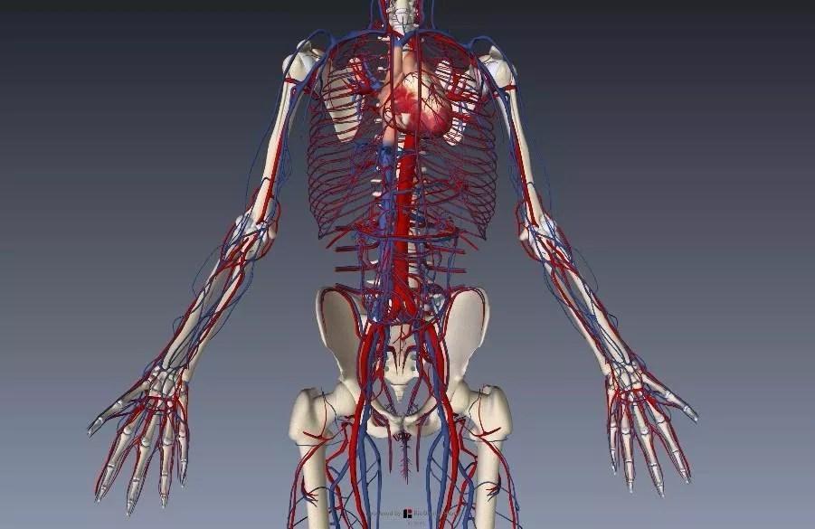 上肢血管解剖イラスト画像3