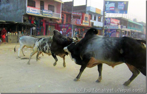 bull_fight_on_street