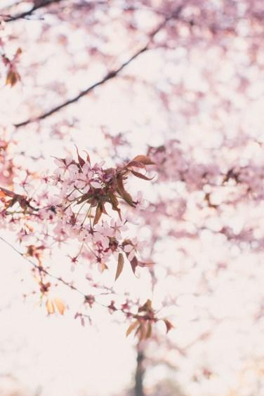 cherry blossom14