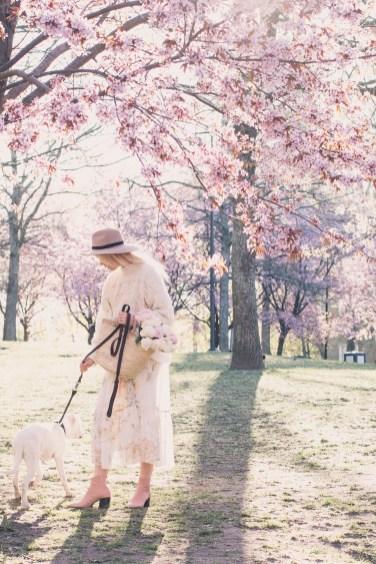 cherry blossom16