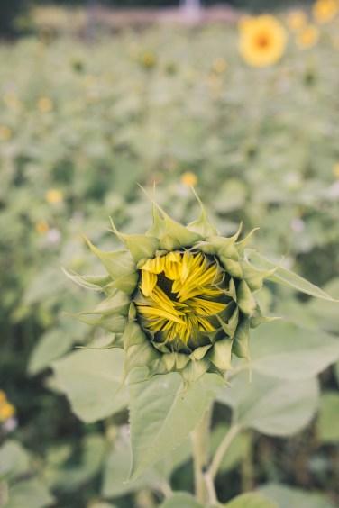 sunflower fields9