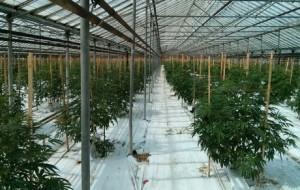 Une serre de 2,7 hectares recyclée de la tomate au cannabis