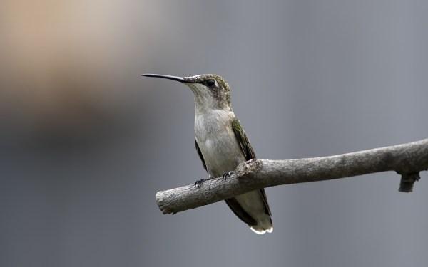 Обои птица скачать на рабочий стол, фотографии колибри