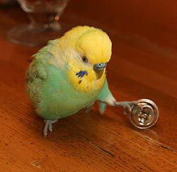 Soccer playing Budgie