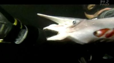 Japanese Goblin Shark