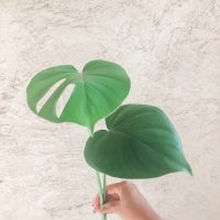 Monstera Propagation Tips