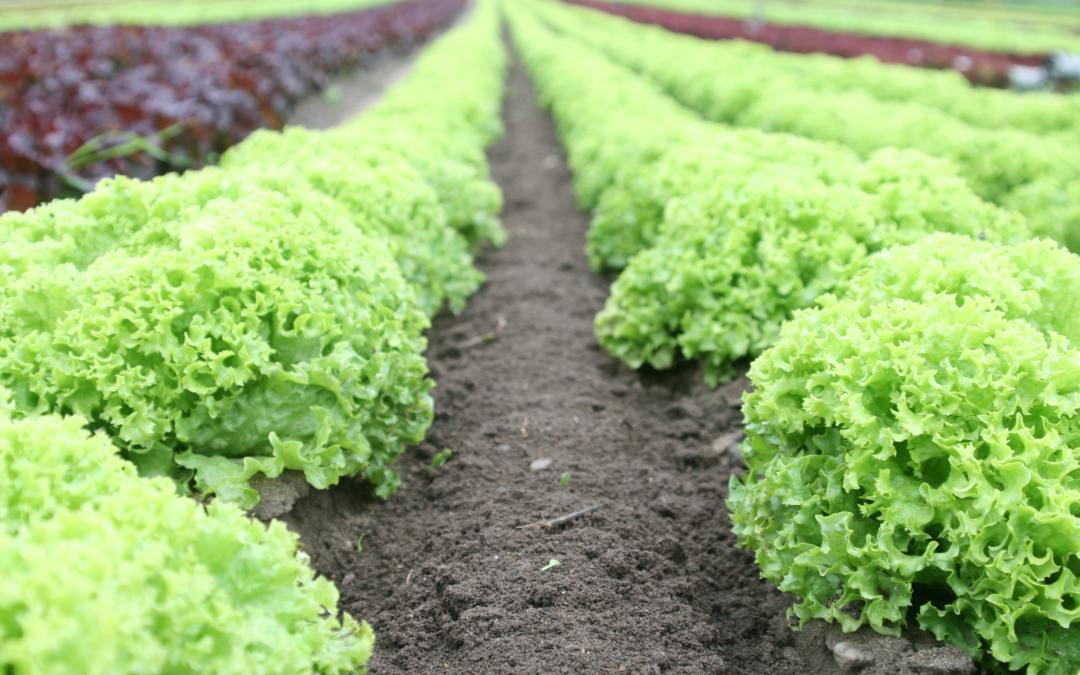 Food Safety News: Romaine E. coli outbreak claims 4 more lives