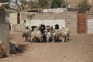 Dahab herded the sheep