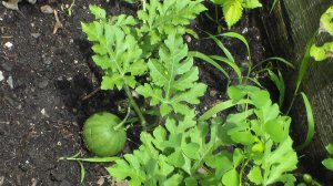 Our little baby watermelon--coming along...