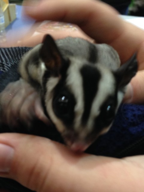 THIS SUGAR GLIDER IS IMPOSSIBLY TINY AND SOFT AND WONDERFUL AND I GOT TO PET IT AND IT WAS UTTERLY MAGICAL