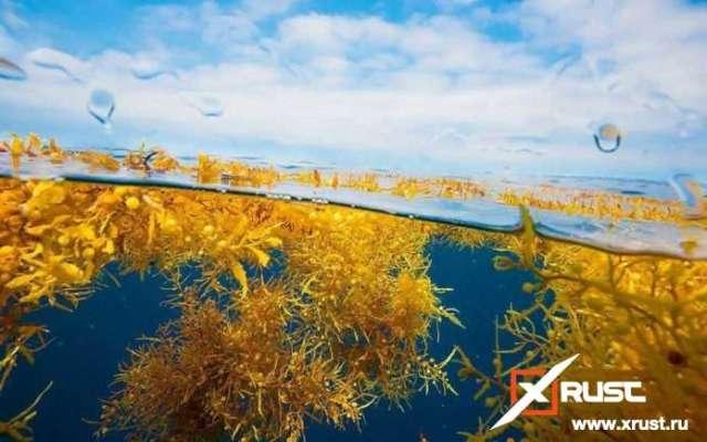 Ядовитые водоросли у Карибских островов
