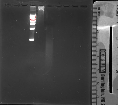 DNA gel: Lane 1 is DNA ladder, Lane 2 is Unsheared DNA, and Lane 3 is Sheared DNA