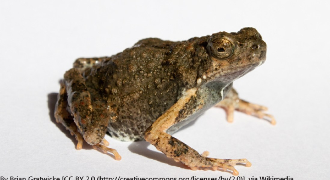Protein-Rich Frog Foam For Antibiotic Drug Delivery