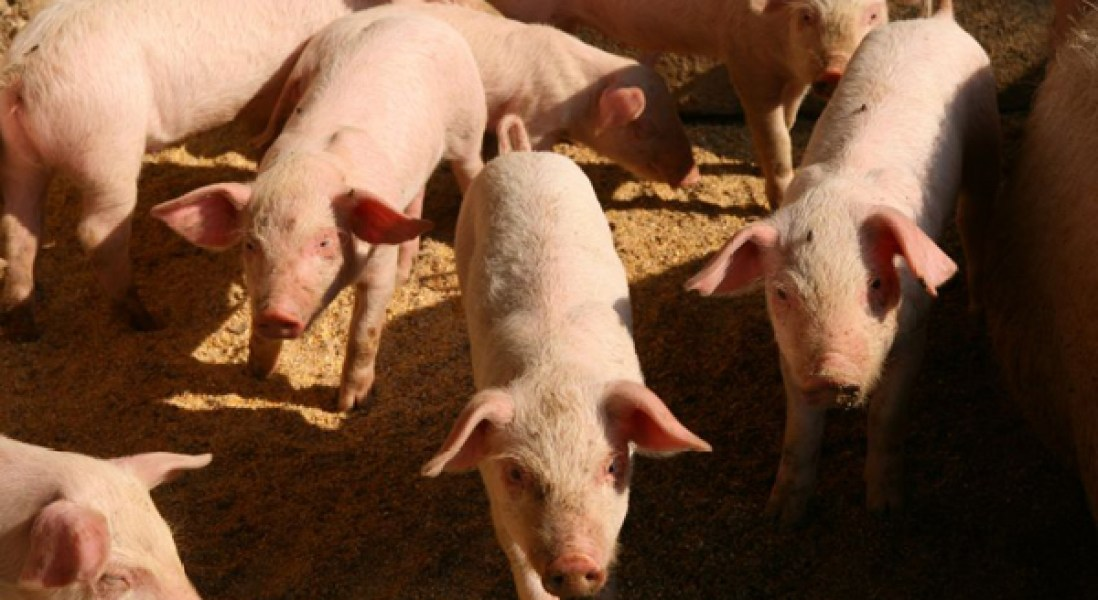 China's Swine Fever Could Increase Pork Production in US