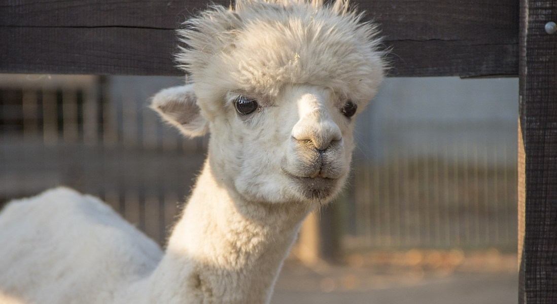 How Nanobodies from Cormac the Llama Could Prevent COVID-19 Infection