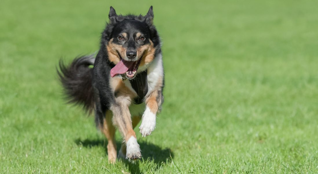 Astaxanthin for Dogs: Three Key Benefits