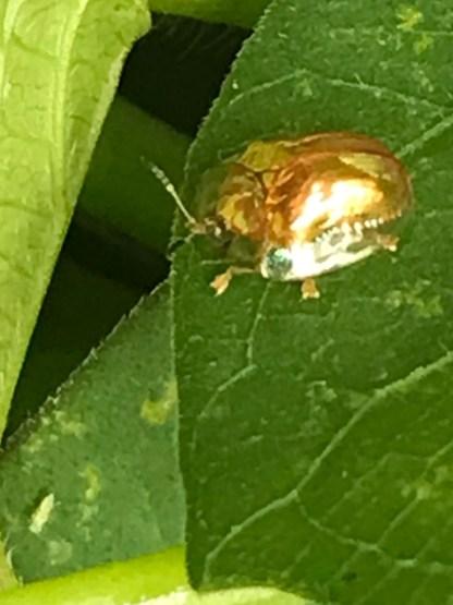 Golden Ladybug 7