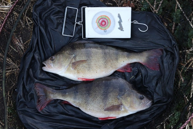 brace of perch from the great ouse