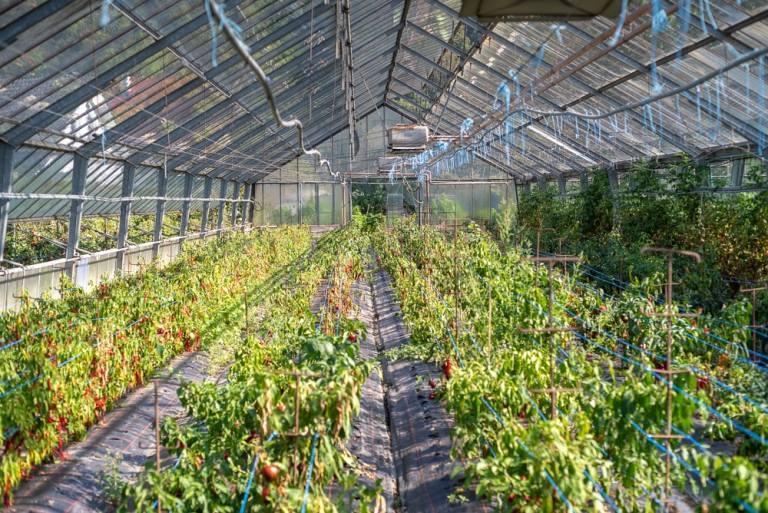 Glashaus mit Paprikapflanzen