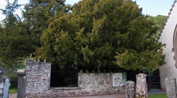 Photographie de l'if de Fortingall