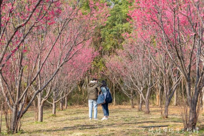 過年走春不只浪漫賞梅景衝一波!清大櫻花率先爆發,春節先來新竹市欣賞一片櫻花林