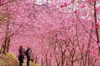 美翻!上帝的部落司馬庫斯櫻花季浪漫開跑,滿山櫻花盛開中!新竹粉紅仙境追起來