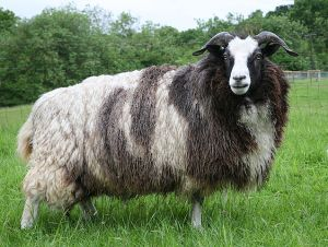 A Jacob ewe with fill fleece