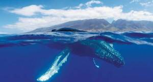 A humpback whale surfaces near Maui Island © Hawaiian Islands Humpback Whale National Marine Sanctuary / Jason Moore
