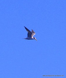 In competition with a tern?