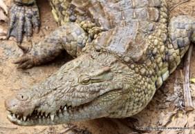 Grisly croc